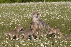 Frisky Wolf Puppies Stock Photos