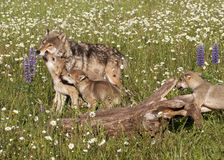Frisky Wolf Puppies Stock Image