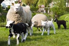 Frisky young sheep in the graze field Stock Photos