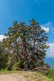 Fristående träd (barrträdet) Arkivfoto