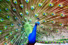 Fristad för påfågelCurrumbin djurliv Fotografering för Bildbyråer