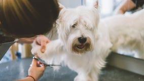 Frisyr scissors vit hundkapplöpning Hund som ansar i ansasalongen grund fokus arkivfoton