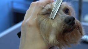 Frisyrhundhår av den Yorkshire terriern i älsklings- salong stock video
