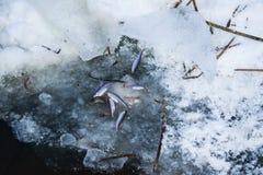 Frite os peixes no lago no inverno Fotos de Stock Royalty Free