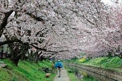 Fritid promenerar en vandringsled under en romantisk valvgång av rosa träd för den körsbärsröda blomningen Royaltyfri Foto