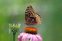 fritiilary蝴蝶的coneflower 免版税库存图片