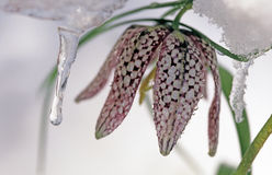 Fritilaria with ice Royalty Free Stock Photo