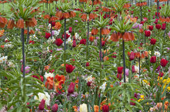 Fritilaria with tulips Stock Images
