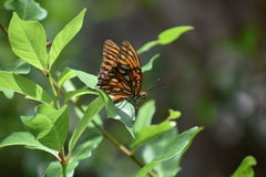 Fritillaire de Golfe - papillon d'Agraulis Vanillae Photos stock