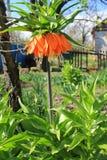 Fritillaria имперский стоковое изображение