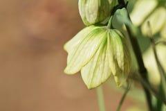 Fritillaria Stockfotos