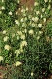 Fritillaria Lizenzfreies Stockbild