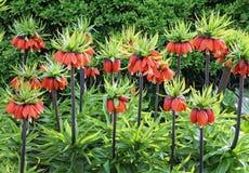 Fritillaria Stock Images