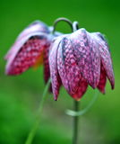 Fritillaria Royalty Free Stock Photo