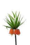 Fritillaria Royaltyfri Bild