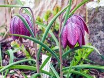 Fritillaria Стоковые Изображения