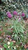 Fritillaria Fotografia Stock