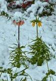 Fritillaria Blommor under snön Royaltyfri Fotografi