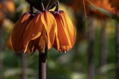 Fritillaria-Blume, gebürtig in Kurdistan und die Türkei stockbilder