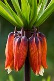 Fritillaria-Blume - Kaiserkrone stockbild