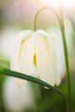 Fritillaria branco Imagens de Stock Royalty Free