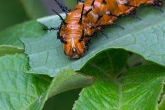 Fritillaria Caterpillar del golfo immagine stock libera da diritti