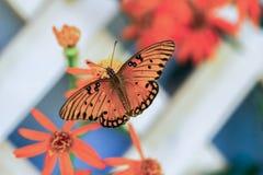 Fritillaria del golfo Fotografia Stock