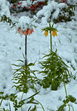 Fritillaria Flores debajo de la nieve fotografía de archivo libre de regalías