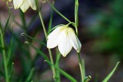 Fritillaria Stock Image