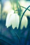 Fritillaria flower Stock Image