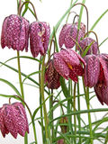 Fritillaria flowering Royalty Free Stock Photos