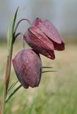 Fritillaria Royalty Free Stock Photos