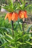 Fritillaria imperiał Zdjęcie Stock