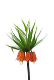 Fritillaria Royalty Free Stock Image