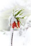 Fritillaria imperiali under the snow. Stock Photos
