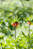 Fritillaria imperialis Royalty Free Stock Photography