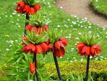 Fritillaria imperialis Stock Photo