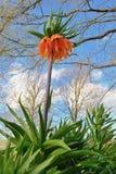 Fritillaria imperialis Stock Image