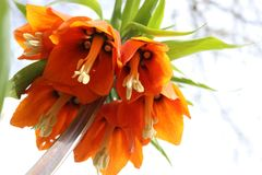 Bright orange flower of a Fritillaria Imperialis. Fritillaria Imperialis also known as: Crown Imperial, Imperial Fritillary or Kaiser`s Crown. Close up view from Royalty Free Stock Photos