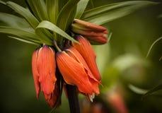 Fritillaria imperialis 'Aurora' Royalty Free Stock Image