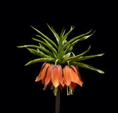 Fritillaria imperialis Stock Photography