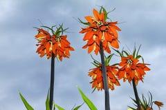 Fritillaria imperialis Stock Images