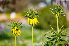Fritillaria imperialis flowers Stock Photos