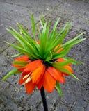 Fritillaria Imperialis/imperial de coroa Imagens de Stock