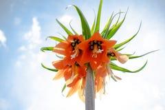 Fritillaria Imperialis lub Rubra maksimumy kwitniemy w ogródzie fotografia royalty free