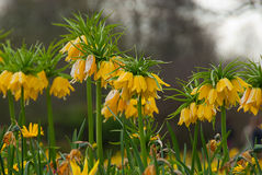 Fritillaria imperialis Lutea. In Hyde park Stock Photography