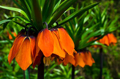 Fritillaria imperialis. Orange crown imperial flowers (Fritillaria imperialis stock photos