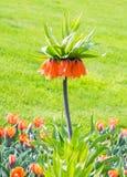 Fritillaria imperialis Royalty Free Stock Photos