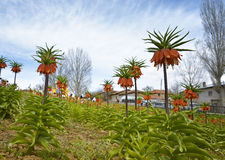 Fritillaria imperialis. Are in parterre of village Royalty Free Stock Images