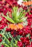 Fritillaria imperialis Stock Photos